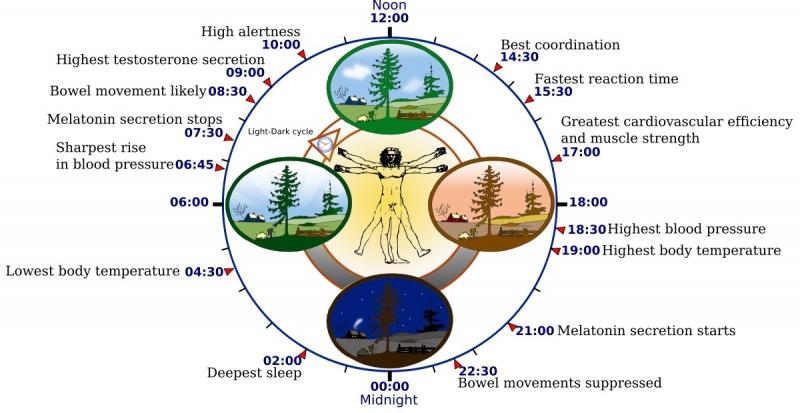 Zegar biologiczny człowieka (źródło: wikimedia.org)