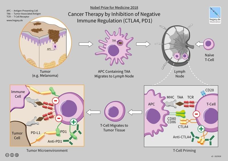 Immunoterapia - receptory białkowe (źródło: wikimedia.org)
