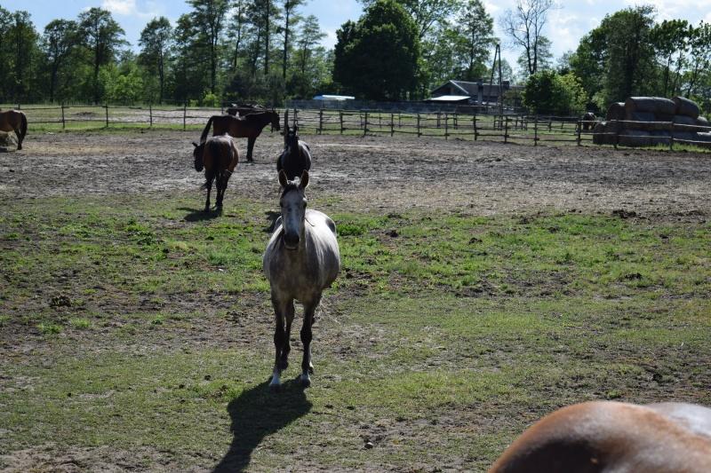 Konie w Stadninie nad lasem (fot. PJ)