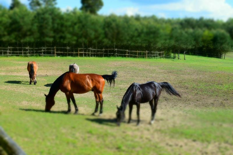 Konie w Stadninie pod lasem w Czarnem (fot. PJ)