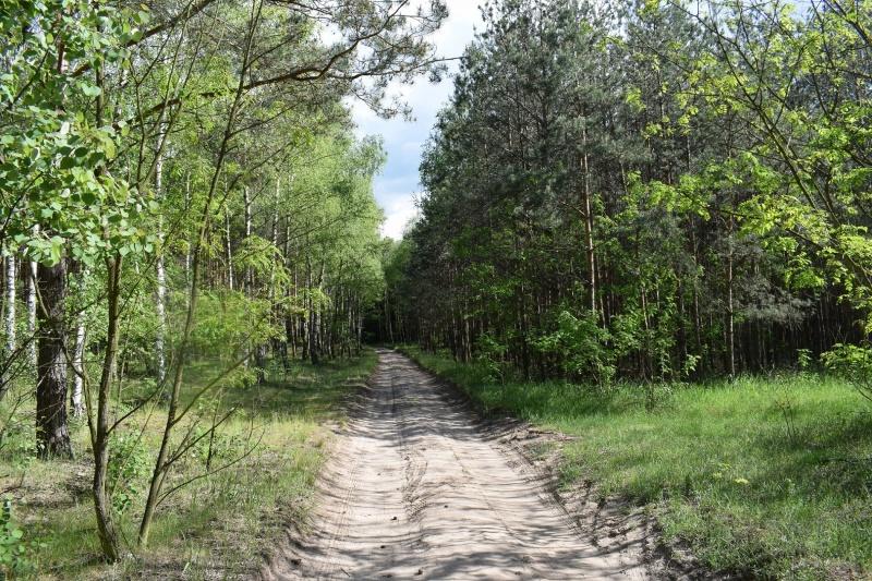 Droga przez las prowadząca do stadniny (fot. PJ)
