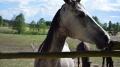 Piękne Konie ze stadniny pod lasem - konie;piękne;stadnina;Czarne;las;zwierzęta;zdjęcia;fotografie;oswojone;fauna;amazonka;wychów;usługi;jeździectwo;agroturystyka;pasja