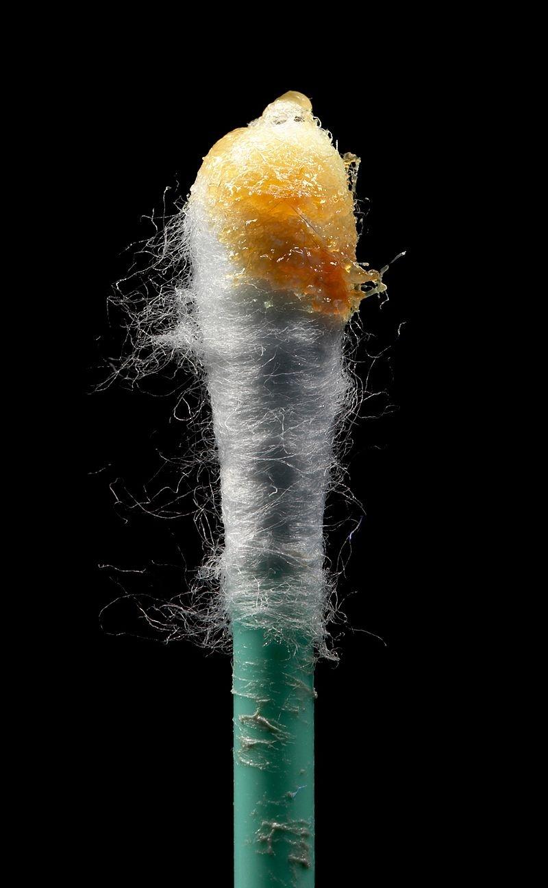 Woskowina na patyczku do czyszczenia uszu (pamiętaj aby go raczej nie stosować!)/fot. wikimedia.org