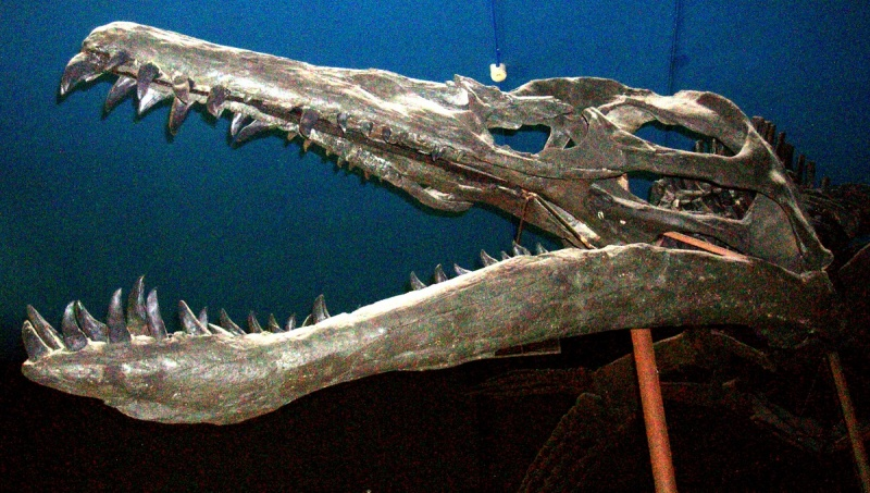 Czaszka liopleurodona - jednego z kilku rodzajów pliozaura (źródło: wikimedia.org)
