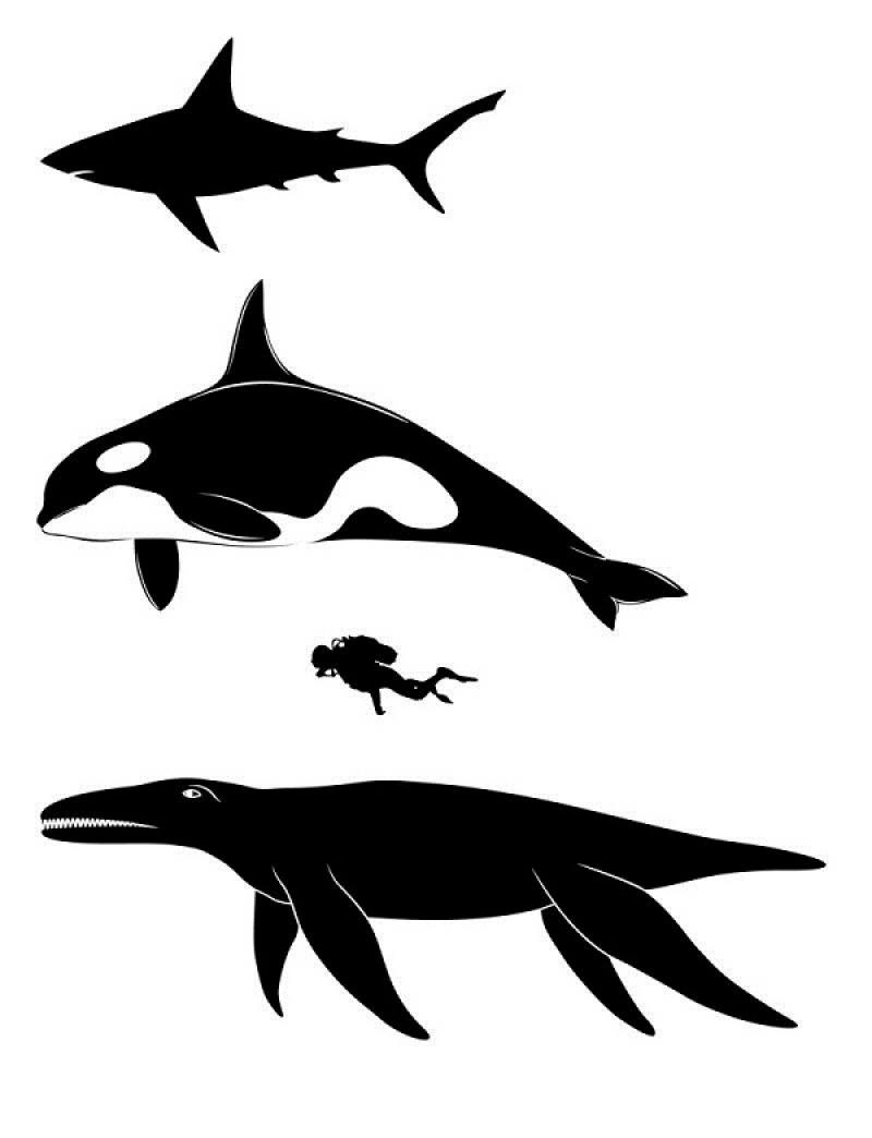 Porównanie długości z innymi gatunkami obecnych drapieżników i człowiekiem (źródło: www.descopera.ro)