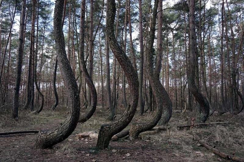 Krzywy las w okolicach Gryfina (fot. Grafy w podróży)