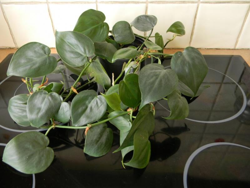 Filodendron pnący (źródło: wikimedia.org)
