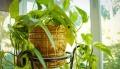 Rośliny doniczkowe w domu – jak o nie dbać, aby spełniały swoje funkcje? - rośliny;dom;doniczkowe;dbać;funkcje;zalety;pielęgnacja;przyjazne rośliny;rytuał;podlewanie;przesadzanie;magia;lepszy sen;tlen;mycie liści;nawożenie;sansewieria;fikus;filodendron