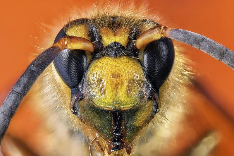 Bliskie spotkanie trzeciego stopnia z pszczołą (fot. PZ)