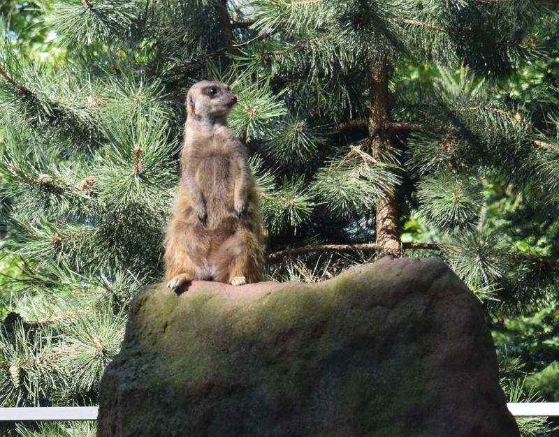 Zoo w Płocku - Timon czuwa (fot. PJ)