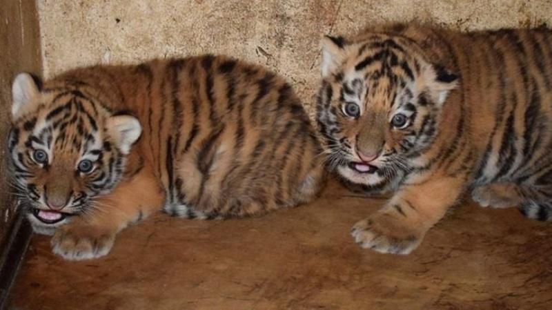 Zoo w Płocku - dwa tygrysy syberyjskie (fot. Facebook)