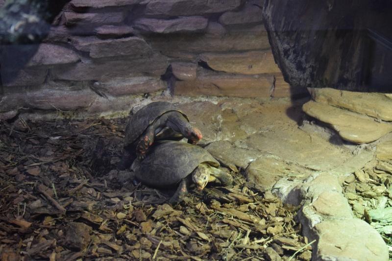 Zoo w Płocku - zakochane żółwie (fot. PJ)