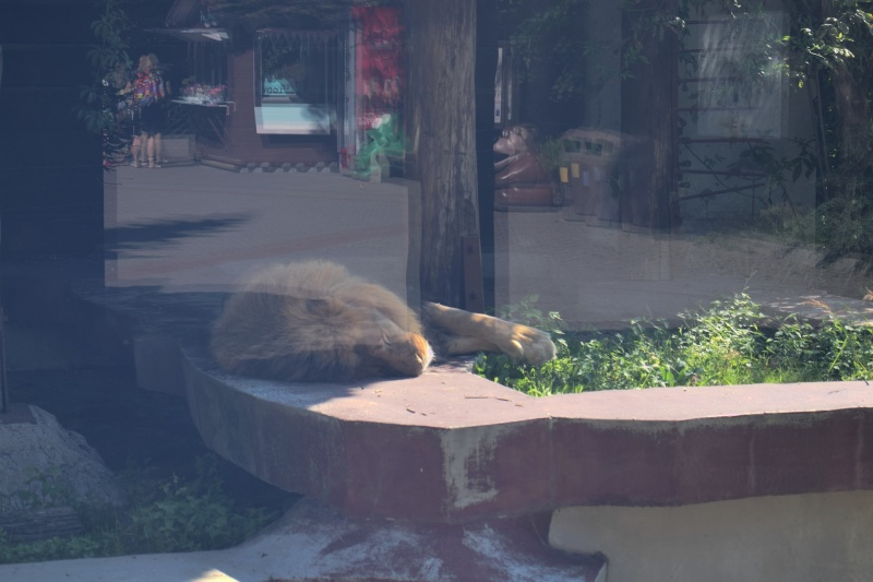 Zoo w Płocku - śpiący lew (fot. PJ)