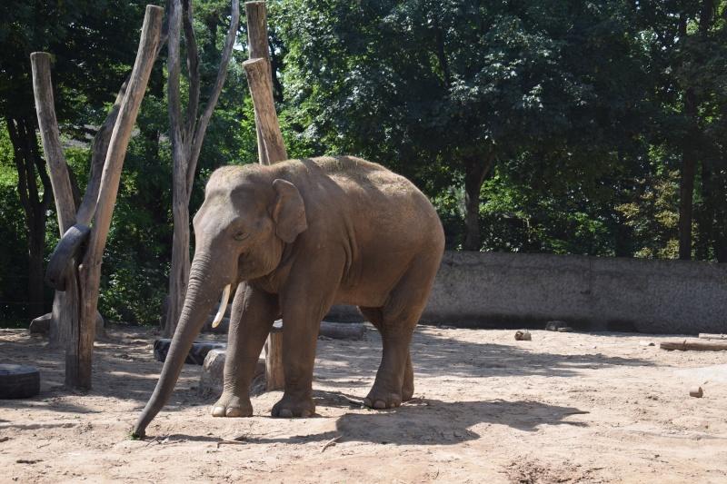 Słoń indyjski (fot. PJ/Zoo w Płocku)