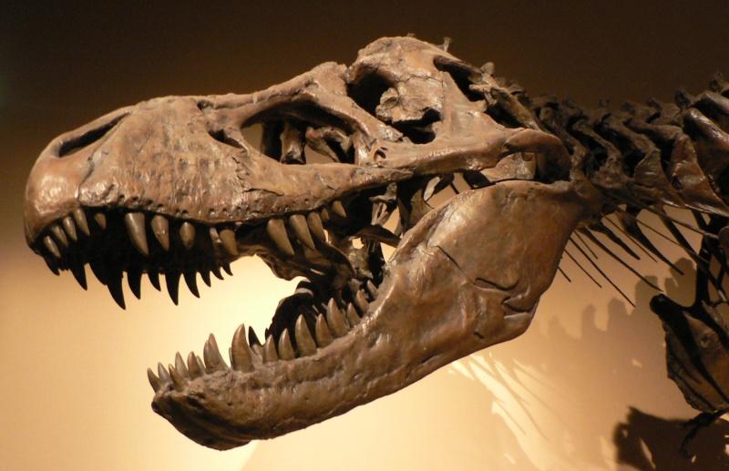 Kości Tyranozaura (źródło: wikimedia.org)