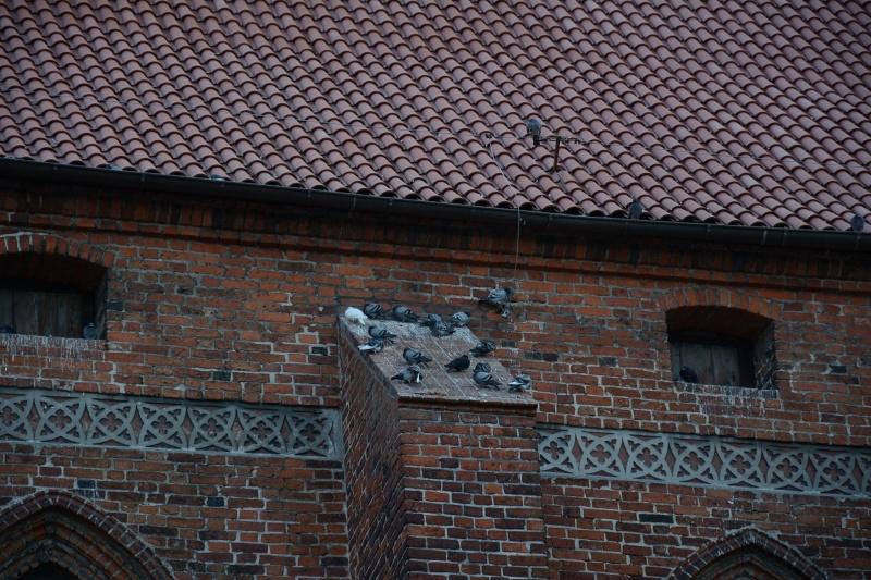 Zamek kapituły pomezańskiej - gołębie (fot. PaM)