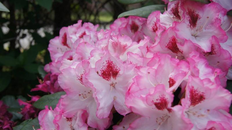 Fot. 1 Rododendron (źródła prywatne)