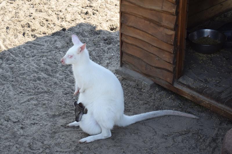 Mini Zoo w Goreniu Dużym - biała kangurzyca z małym kangurkiem (fot. PJ)