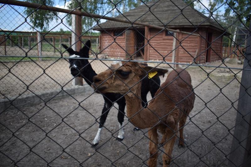 Mini Zoo w Goreniu Dużym - alpaki (fot. PJ)
