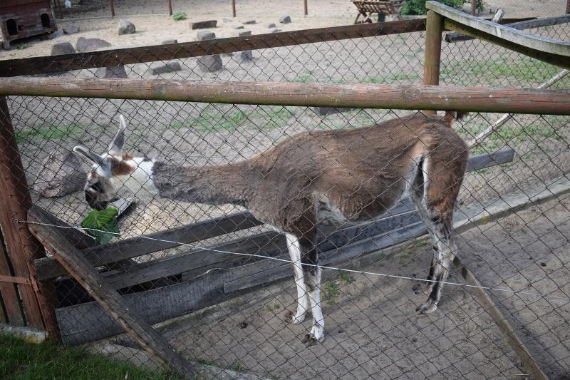 Mini Zoo w Goreniu Dużym - głodna Ela (fot. PJ)