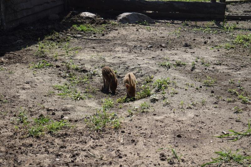 Mini Zoo w Goreniu Dużym - małe dziki (fot. PJ)