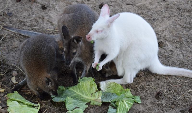 Mini Zoo w Goreniu Dużym - rodzina kangurków je obiadek (fot. PJ)