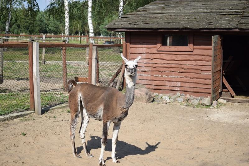 Mini Zoo w Goreniu Dużym - lama Ela (fot. PJ)