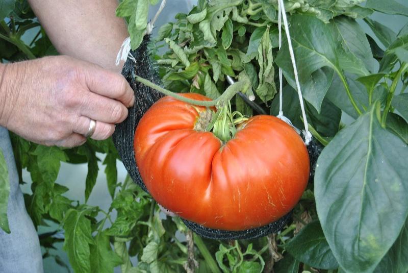 Konkursowy pomidor